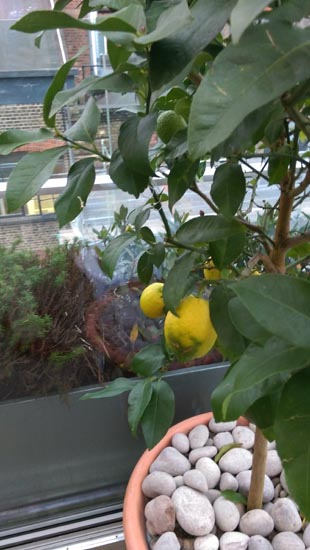 Boundary lemon tree